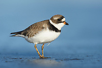 Semipalmated Plover (Charadrius semipalmatus). Ocean Shores, Washington. May.