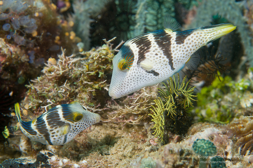 Anilao, Philippines; a male/female pair of Black-saddled Toby (Canthigater valentini) fish build a nest in preparation of laying eggs