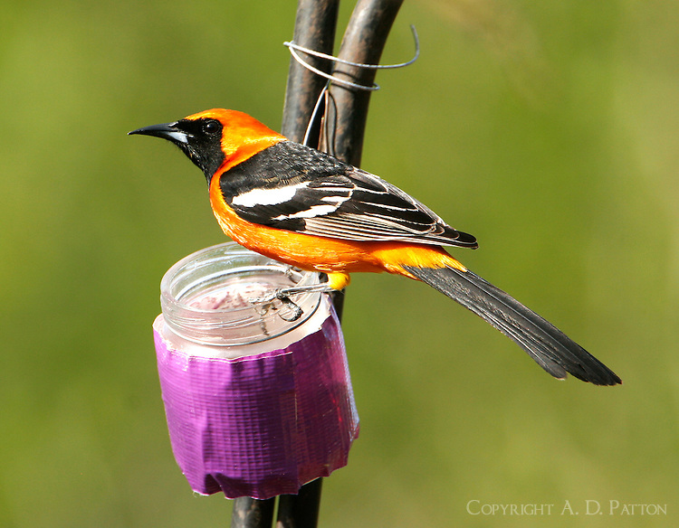 Adult male hooded oriole at feeder