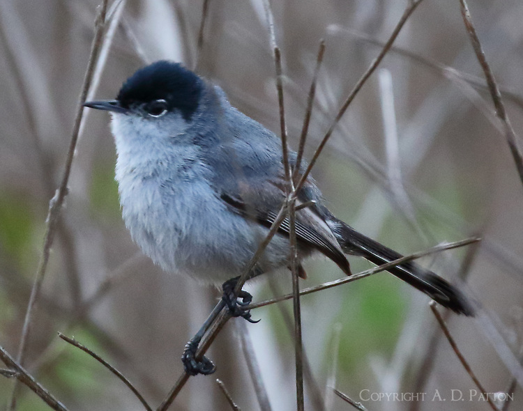 California gnatcatcher adult male