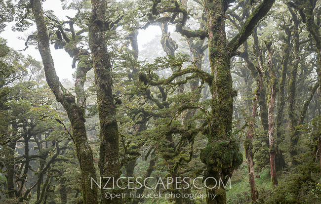 Soft mist swirls through beech trees cloaked in moss, goblin forest on Panekiri Bluff, Te Urewera, Hawke's Bay, North Island, New Zealand, NZ