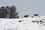 Two wolves from the Druid pack walk on the ridge line in Yellowstone National Park, Wyoming