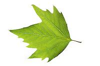 Orientalische Platane, Morgenländische Platane, Platanus orientalis, Chenar, Oriental Plane, Oriental Plane-Tree, Le platane d'Orient. Blatt, Blätter, leaf, leaves
