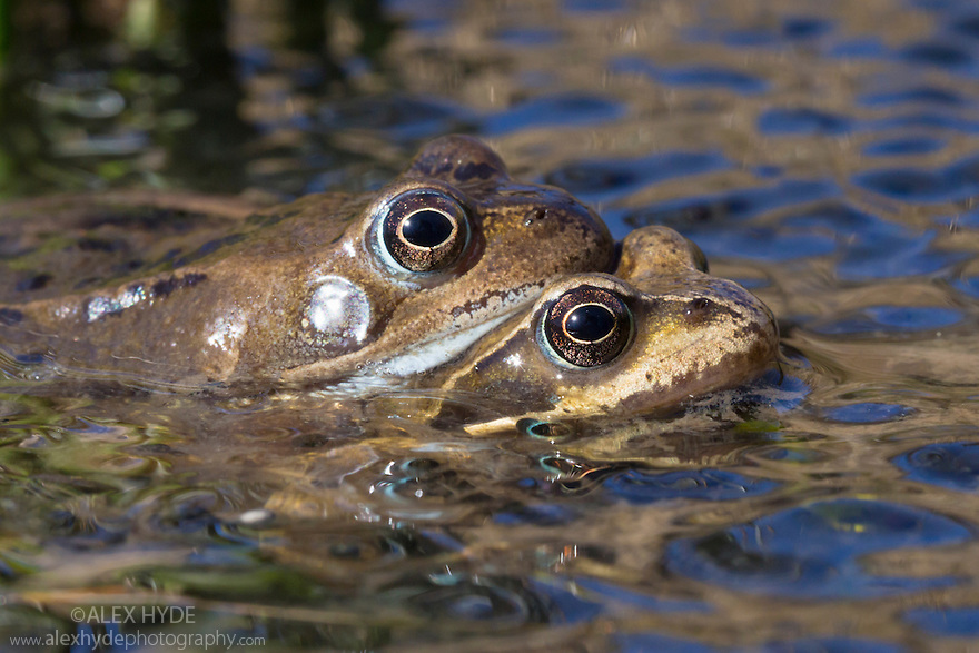 Amplectant pair of Common Frogs {Rana temporaria} amongst mass of spawn in a moorland pond. Peak District National Park, Derbyshire, UK. March.