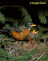 RO05-016z   American Robin - adult preparing to sit on young for protection - Turdus migratorius