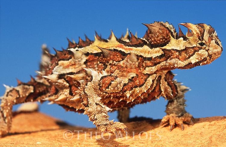 Australia, Western Australia, thorny devil basking on rock, blue sky in back, close-up
