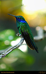 Green Violet-Eared Hummingbird, Southern California