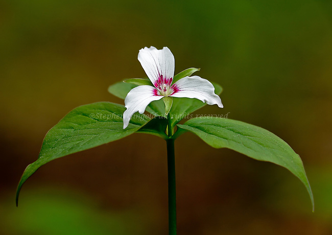 A lovely Painted Trillium in its prime photographed to separate it from its background.