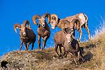Bighorn sheep rams chasing ewe during the rut.  Western Montana.