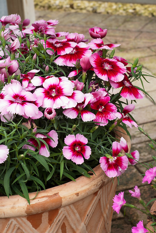 Dianthus 'Corona Cherry Magic Improved', single flowered pink with red center