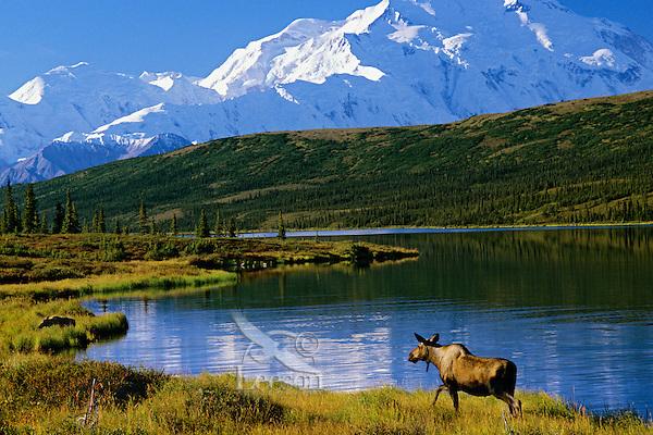 Cow Moose, Wonder Lake, Mt. McKinley, Denali N.P., Alaska.