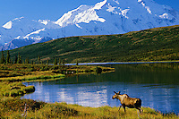 Cow Moose, Wonder Lake, Mt. McKinley, Denali N.P., Alaska.