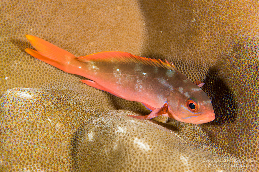 Cocos Island, Costa Rica; a juvenile Pacific Creolefish (Paranthias colonus) resting on the coral reef at night