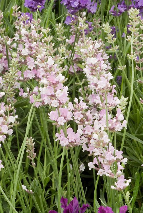 Lavandula angustifolia 'Coconut Ice' English lavender