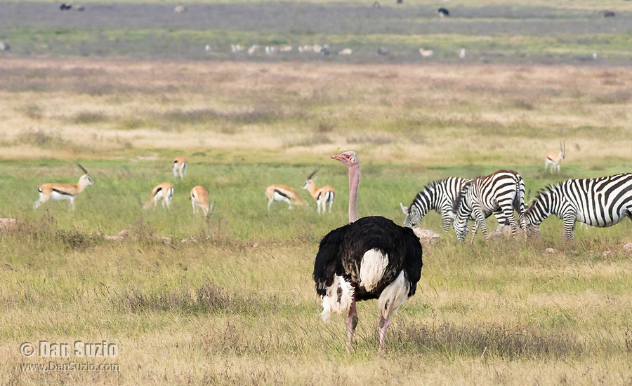 Male Common Ostrich, Struthio camelus, with Thomson's Gazelles, Eudorcas thomsonii, and Grant's Zebras, Equus quagga boehmi. Ngorongoro Crater, Ngorongoro Conservation Area, Tanzania