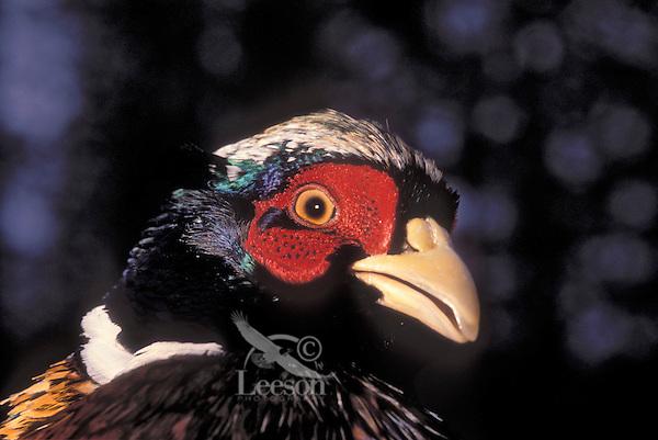 Ring-necked Pheasant. (Phasianus colchicus).