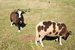 Jacob sheep grazing in field of smallholding, Shottisham, Suffolk, England, UK