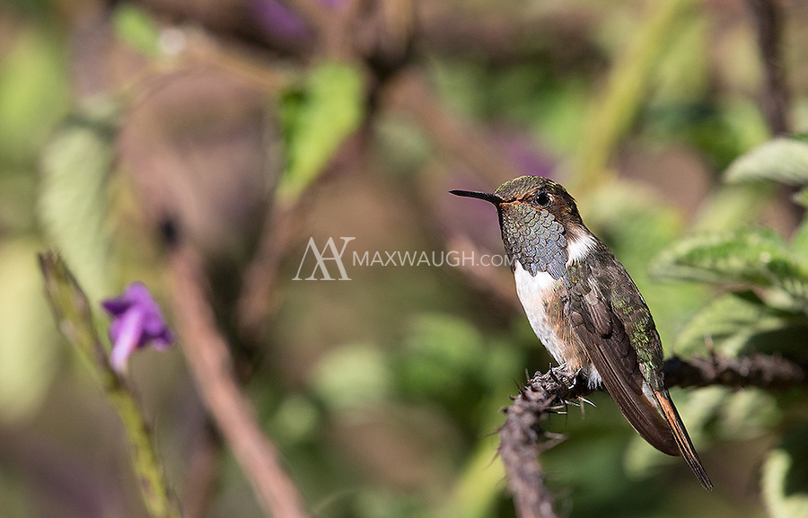 The tiny Volcano hummingbird male sports a unique gray gorget.