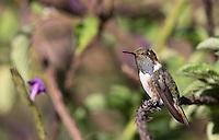 The tiny Volcano hummingbird male sports a unique gray gorget.