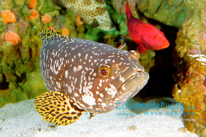 giant or Queensland grouper, juvenile (c), .Epinephelus lanceolatus, the largest grouper in the world, grows up to 3 m, 400 kg, getting cleaned by cleaner wrassses (Indo-Pacific).