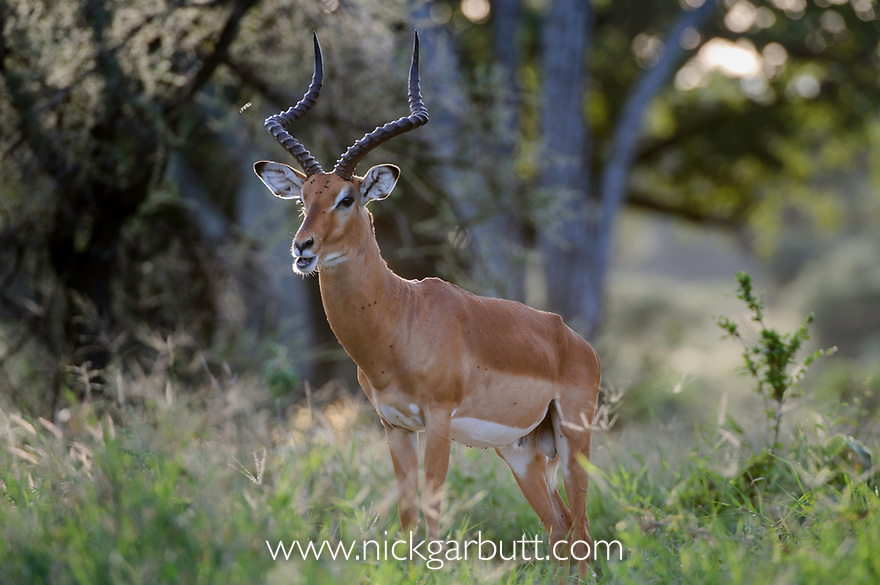 Male impala (Aepyceros melampus) in woodland. Tarangire National Park, Tanzania.