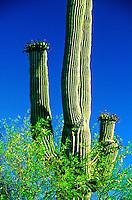 Organ Pipe Cactus National Monument, Ajo, Arizona USA