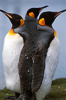 A trio of king penguins rest at a rookery on the Falkland Islands.