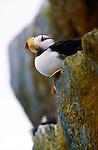 Horned puffin, Alaska