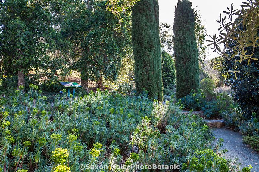 Cupressus sempervirens 'Glauca' (Blue Italian Cypress) trees with Euphorbia at Leaning Pine Arboretum, California garden
