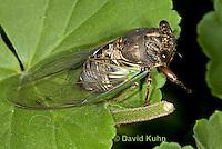 0901-0821  Dog-day Cicada, Tibicen spp.  © David Kuhn/Dwight Kuhn Photography.