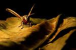 Hawk Moth (Daphnusa ocellaris) flapping wings, Tawau Hills Park, Sabah, Borneo, Malaysia
