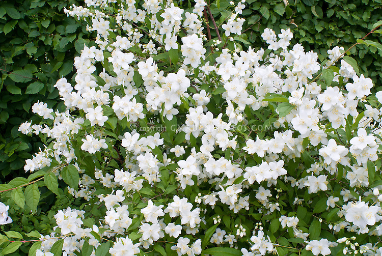 Philadelphus coronarius mockorange plant for White flowering bush