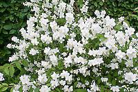 Spring flowering fragrant shrubs stock photos images plant philadelphus coronarius shrub in white spring fragrant bloom mightylinksfo