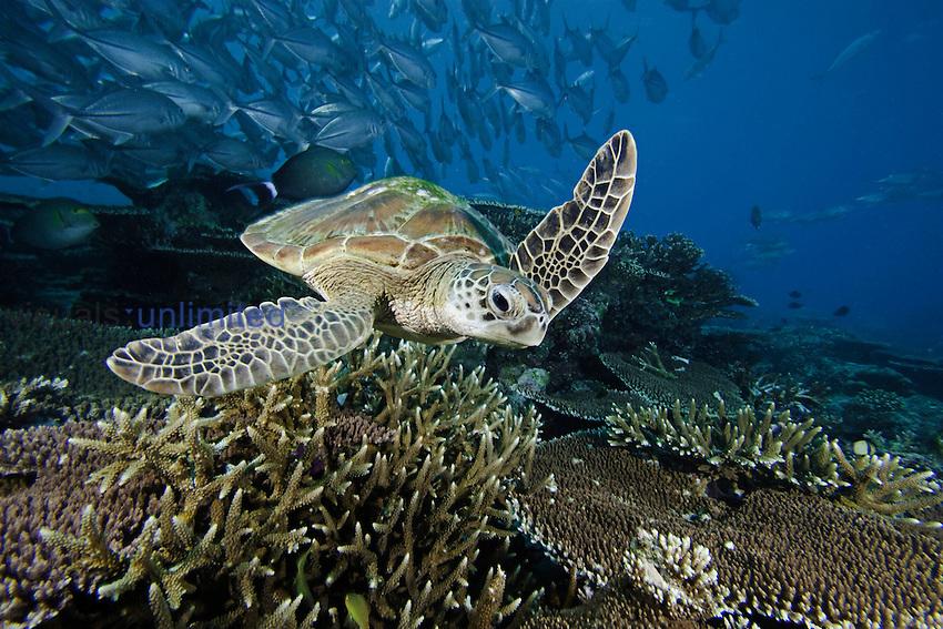 Green Sea Turtle (Chelonia mydas) swimming over a coral reef, Sipidan Island, Malaysia.