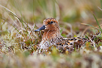 Adult male Spoon-billed Sandpiper brooding newly hatched chicks on the nest. The male attends to the nest during the day, the female at night. Chukotka, Russia. July.