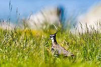 Norway, Stavanger. Northern lapwing.