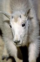 Mountain Goat, Canada