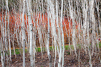 Quaking aspen, white bark poplars trees (Populus tremuloides) in California native plant garden