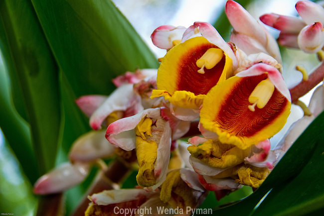 Shell ginger bloom; its leaves are used in making ginger tea.