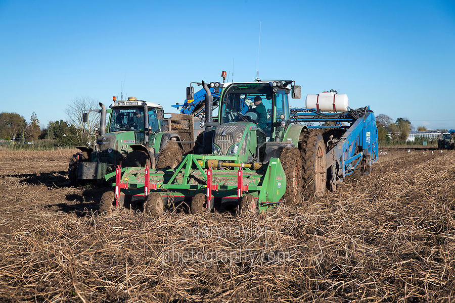 Harvesting Maaris Piper potatoes with a Standen T3 - November, Lincolnshire
