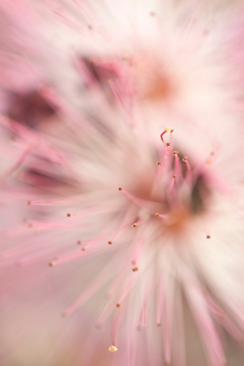 Abstract of a fairy duster (Calliandra eriophylla) bloom in the Tonto National Forest, Arizona, USA