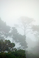 Trees in the fog in the Del Monte Forest, 17 Mile Drive, Monterey Peninsula, California