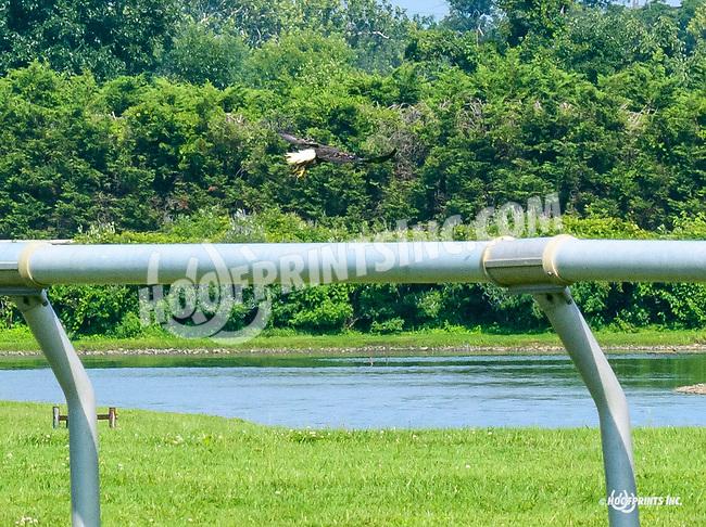 Bald Eagle & Ospreys at Delaware Park on 7/19/17