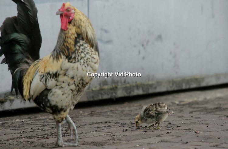 Foto: VidiPhoto..BARNEVELD - Verwilderde kippen scharrelen wat rond op het industrieterrein Harselaar in Barneveld, in de nabije omgeving van het geruimde pluimveebedrijf in Voorthuizen. Voorlopig hoeven ze niet bang te zijn dat ook zij preventief worden geruimd. Het onderzoek naar de aanwezigheid van vogelgriep in Voorthuizen en omgeving heeft geen nieuwe gevallen opgeleverd. Een woordvoerster van het ministerie van Landbouw bevestigde dinsdagmiddag die conclusie van LTO Nederland.