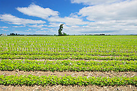 Fields of soybeans<br /> Pike River_<br /> Quebec<br /> Canada