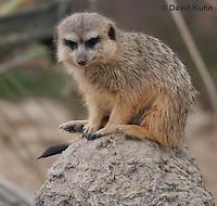 0214-08pp  Meerkat on Lookout, Suricata suricatta © David Kuhn/Dwight Kuhn Photography