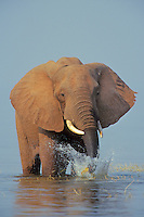 African Elephant (Loxodonta africana) pulling up grass growing along shore of  Lake Kariba, Matusadona National Park, Zimbabwe.  Once it pulls the grass up the elephant swishes the plant through the water to clean off the mud from around the roots before eating.
