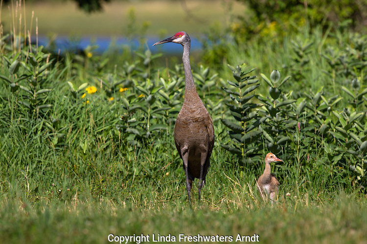 Sandhill crane and chick