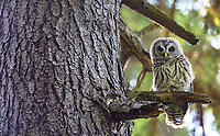 A young Barred Owl perches in Discovery Park in Seattle.