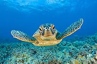 Green Turtle, Chelonia mydas, Maui, Hawaii, USA